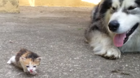 Big Dog Afraid Of Tiny Kitten