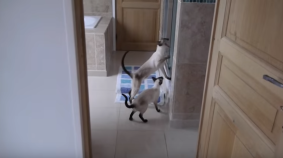 Siamese Cats Rescue Human from Dreaded Shower