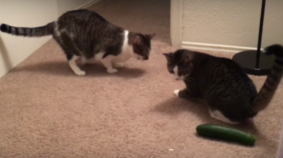 9 Lives: Cat Duo Startled By Evil Cucumber
