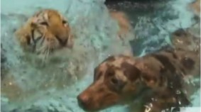 Unlikely Friendship: Tiger & Doggy In A Pool